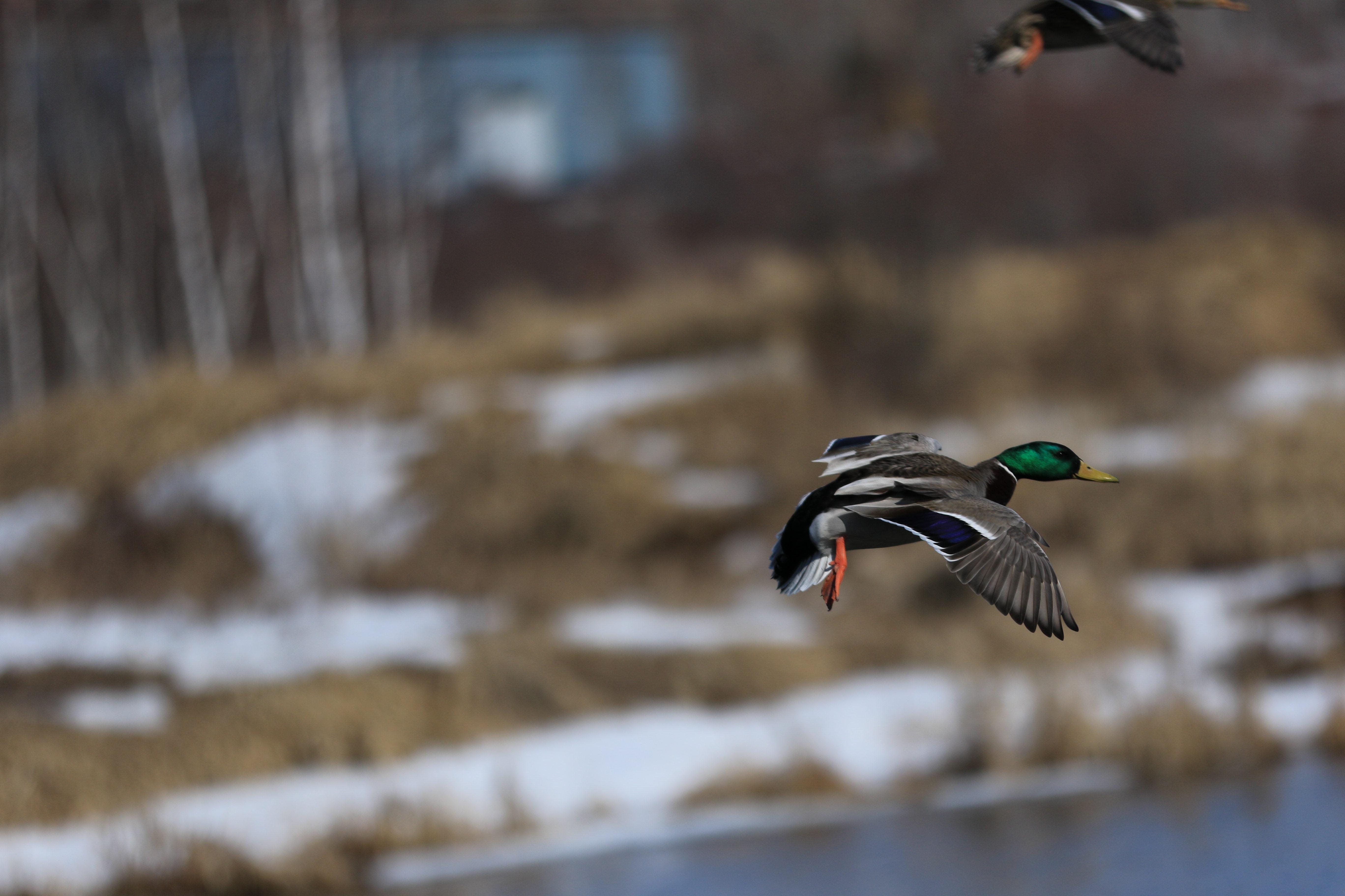 blog phoho 18 flying ducks.CR2.jpg