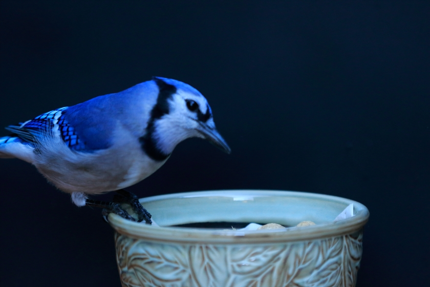 blog photo 53 bluejay.JPG