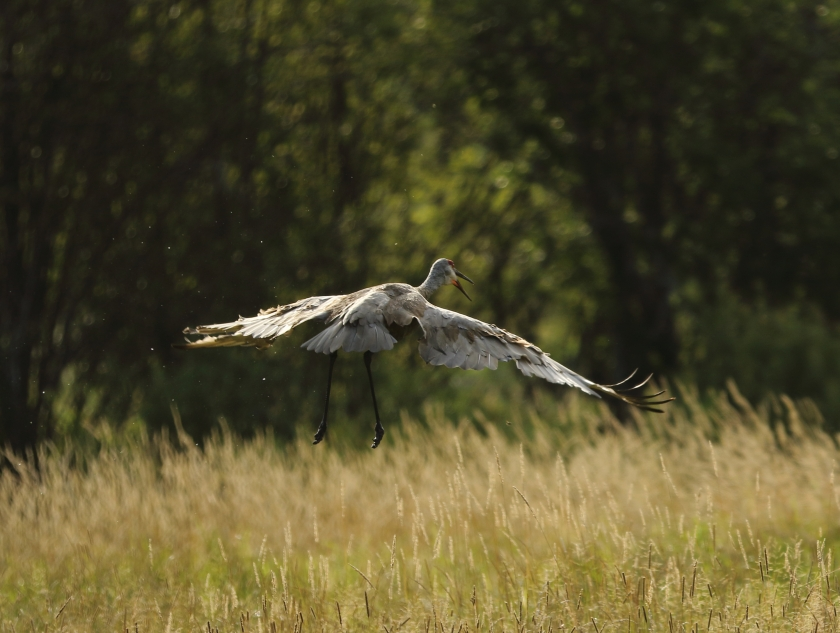 blog photo 60 sandhill crane