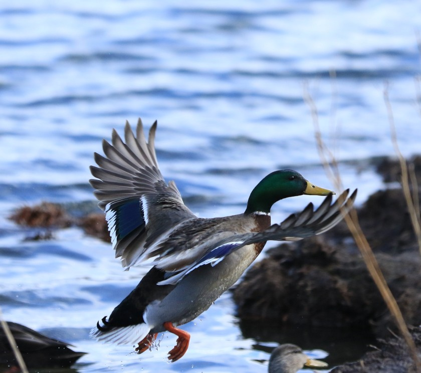 blog photo 67 wing of duck.jpg