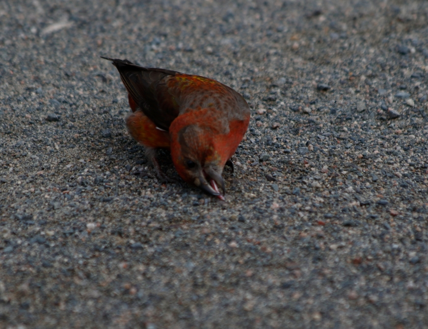 blog photo 69 red crossbill