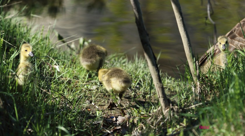 blog photo 72 four goslings