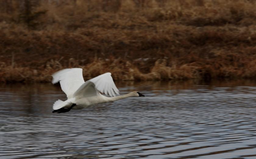 blog photo 77 Swan