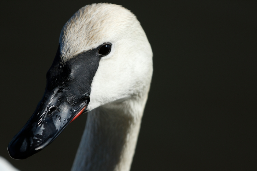 blog photo 79 Close Swan