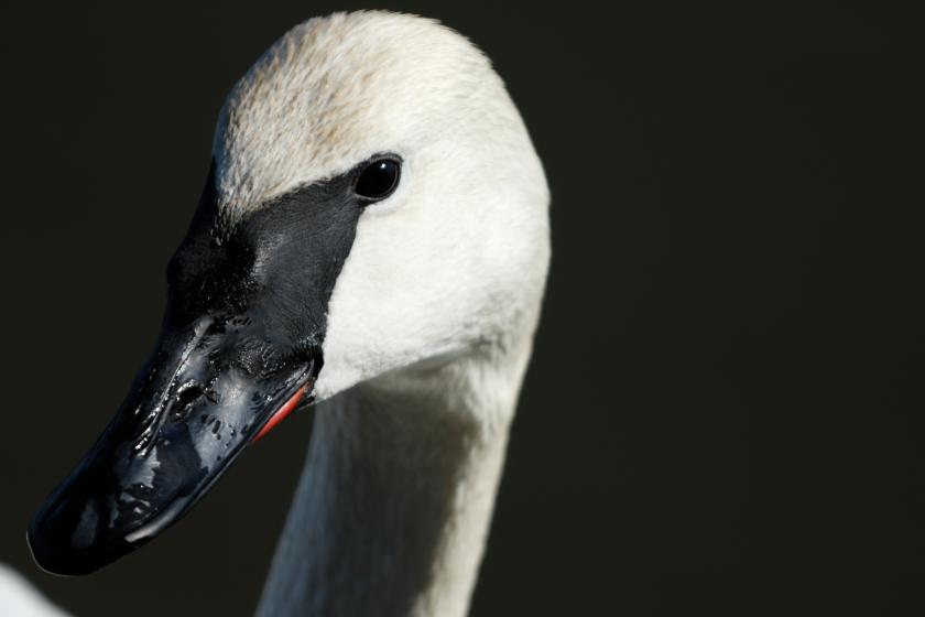 blog photo 79 Close Swan