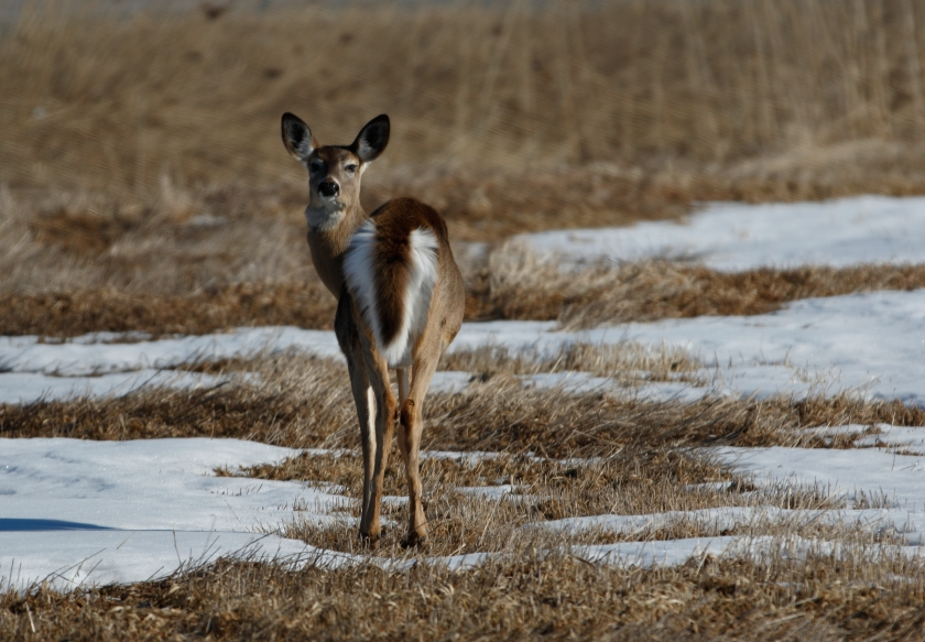 blog photo 80 White tailed deer