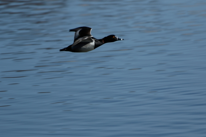 blog photo 83 ring neck duck