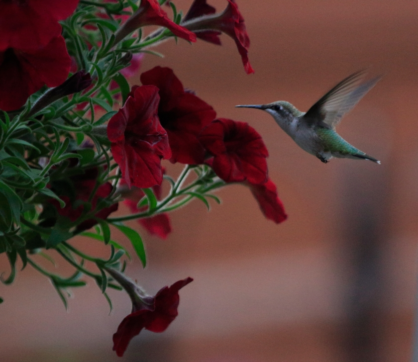 blog photo 105 Hummingbird.JPG