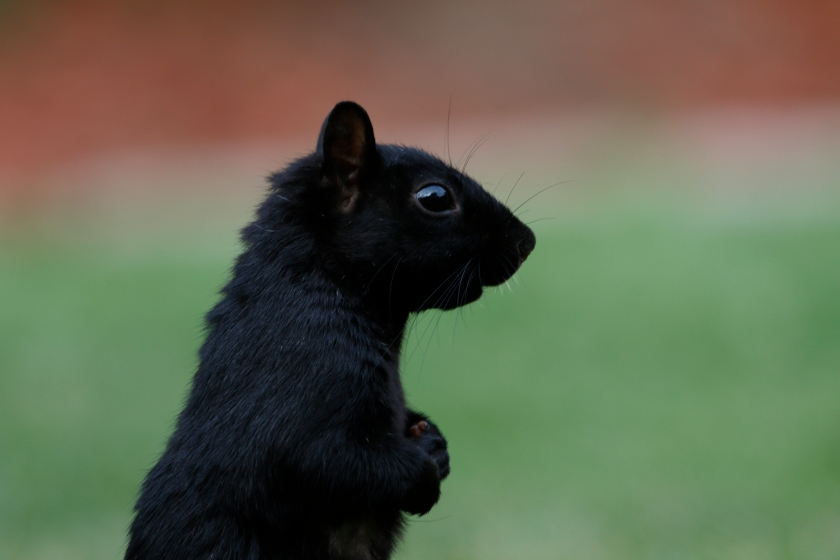 blog photo 111 Black Squirrel