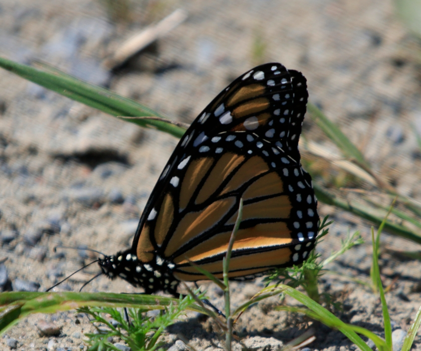 blog photo 116 Monarch