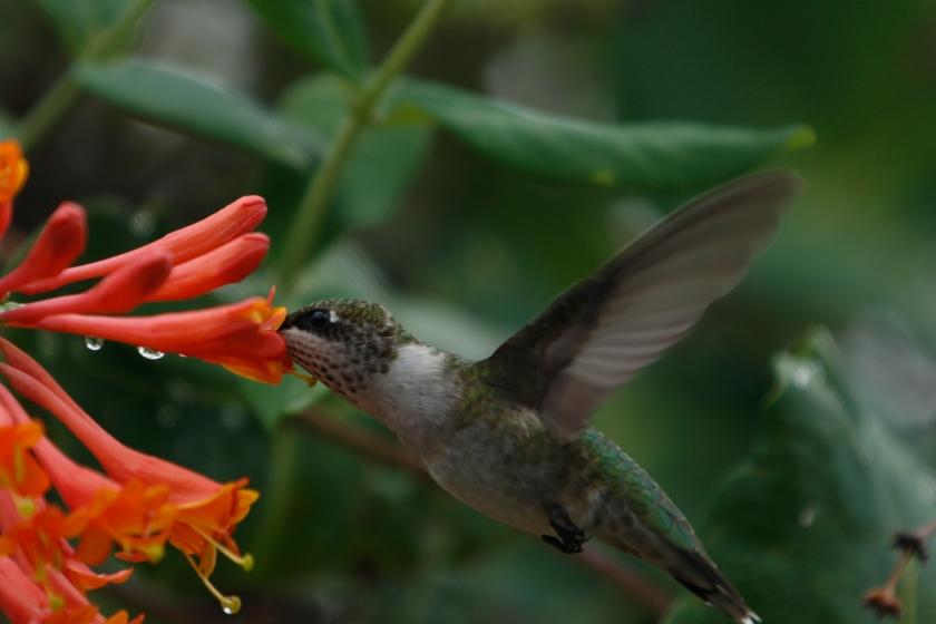 blog photo 125 hummingbird