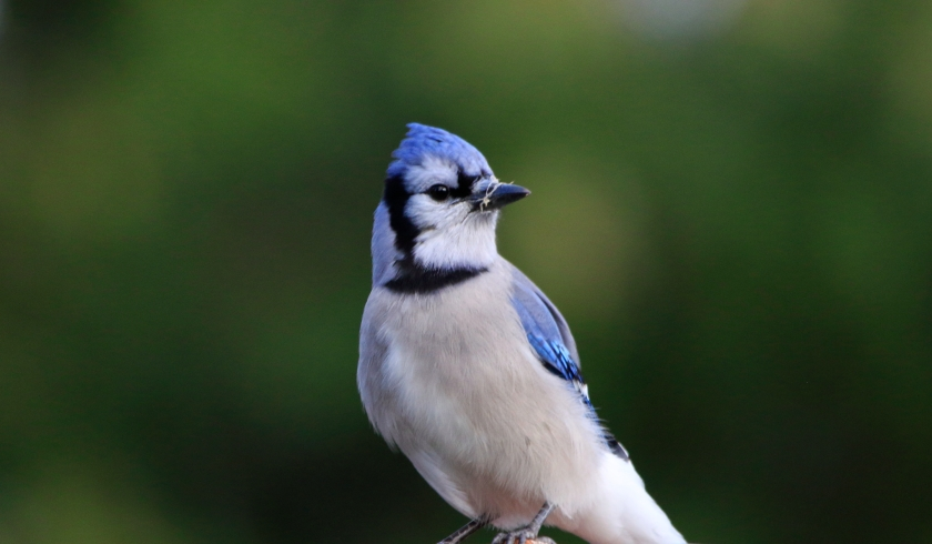 blog photo 133 bluejay