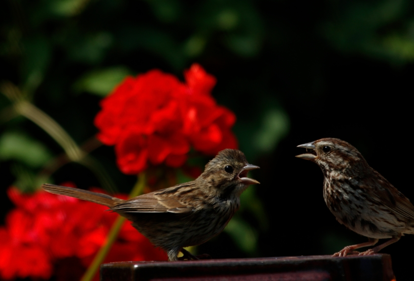 blog photo 140 two song sparrows