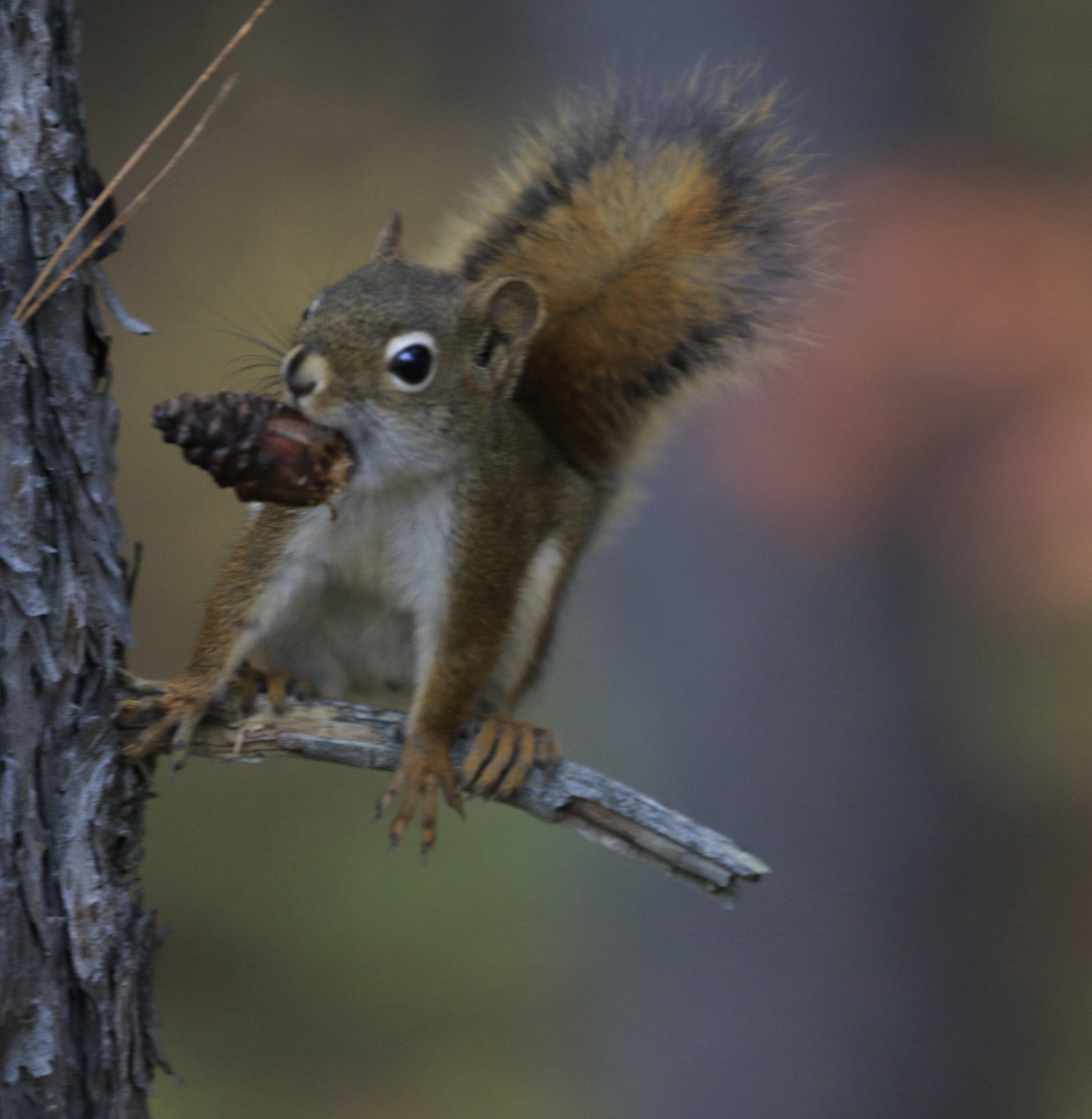 blog photo 142 red squirrel