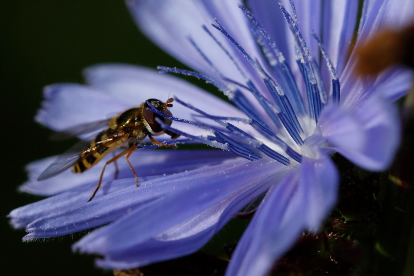 blog photo 161 wasp-blue flower