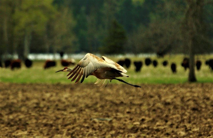 blog photo 175 sandhill crane