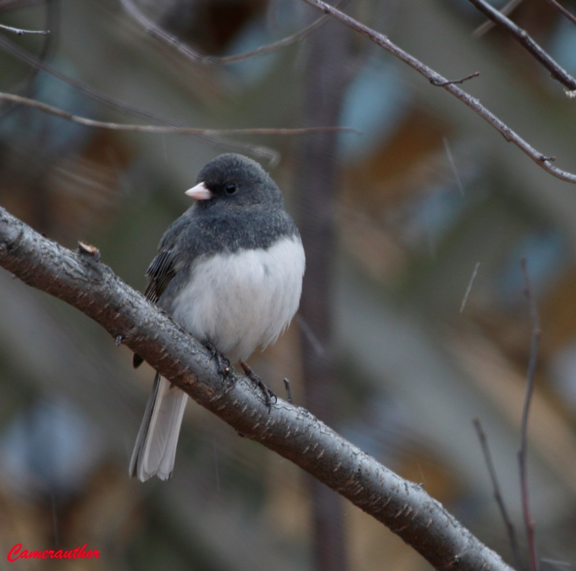 blog photo 180Junco