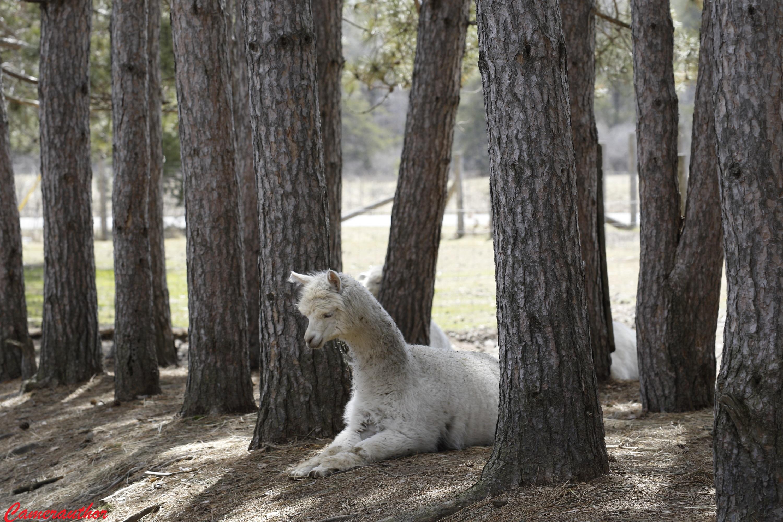 blog photo 183 Alpaca
