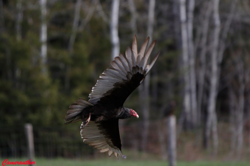 blog photo 185 turkey vulture
