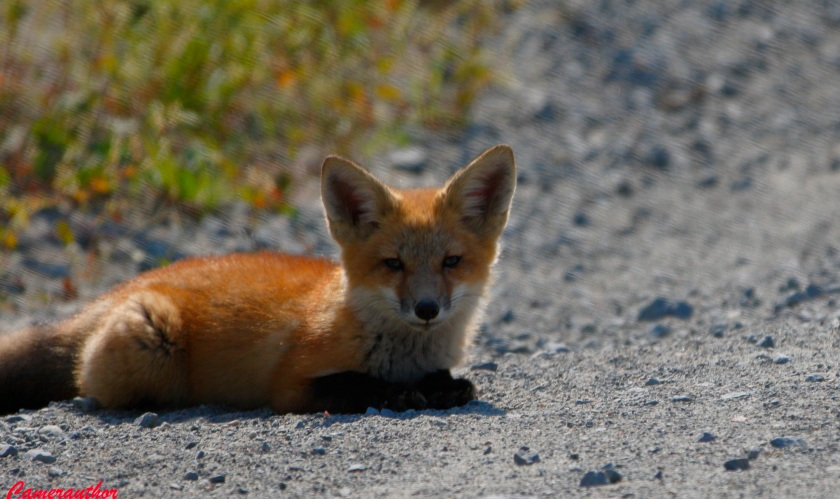 blog photo 189 Fox pup