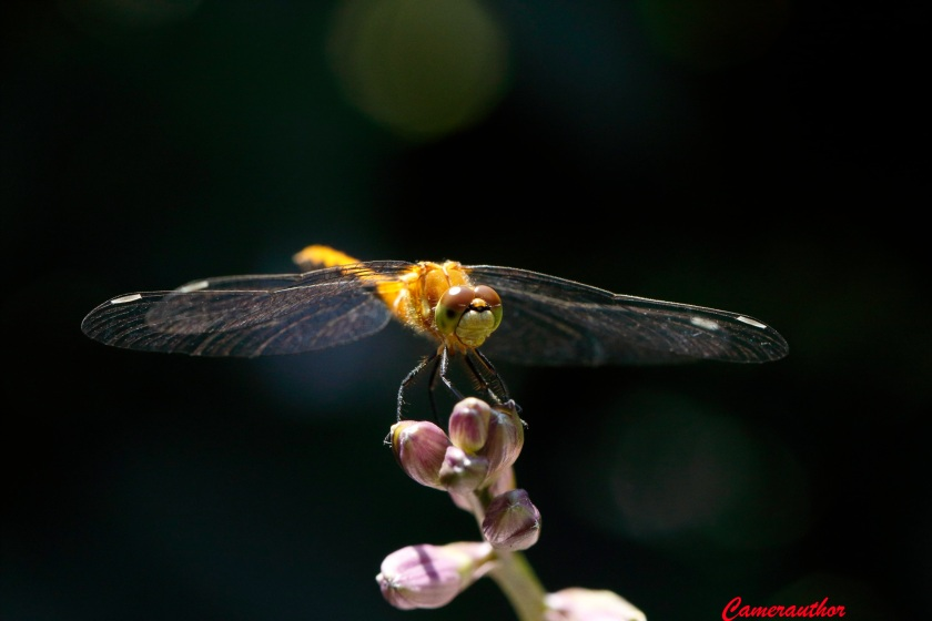 blog photo 193 Dragonfly