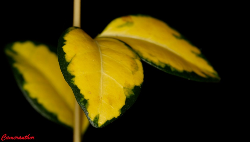 blog photo 196 yellow leaf