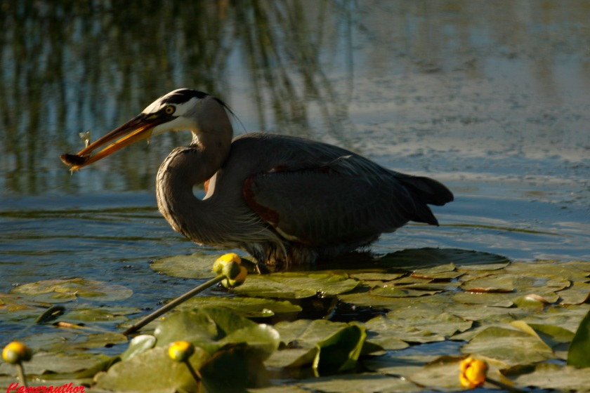 blog photo 201 heron & fish