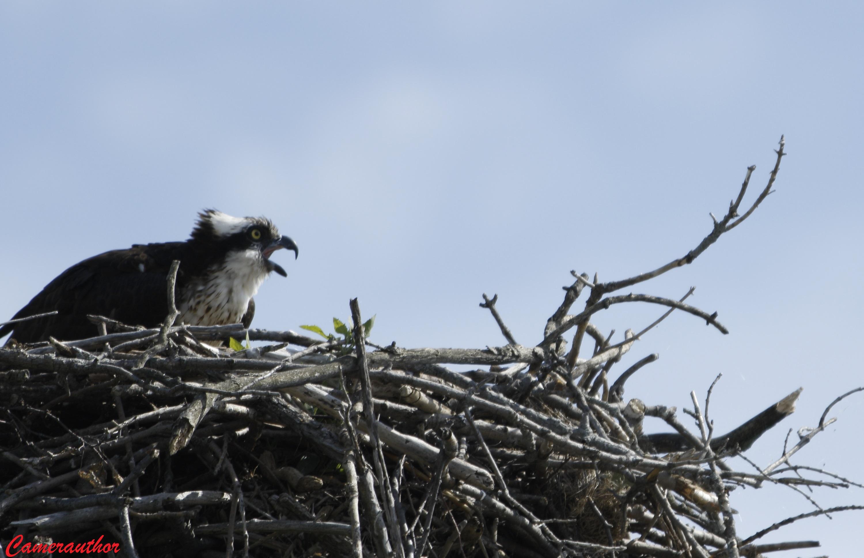 blog photo 207 osprey on nest