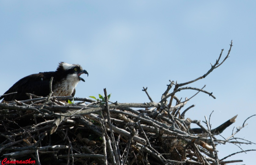 blog photo 207 osprey on nest