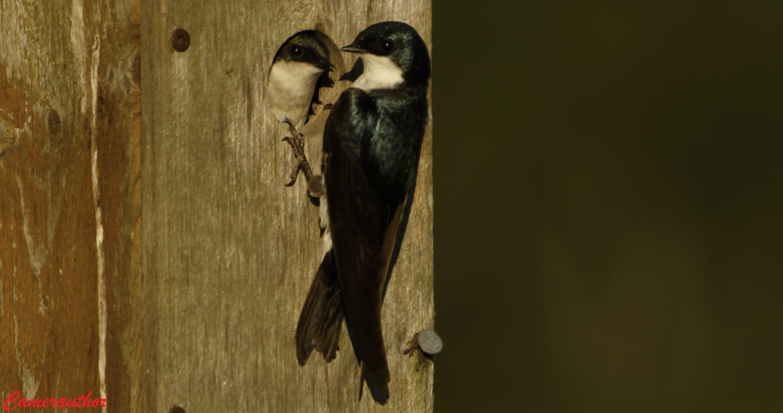 blog photo 208 swallow