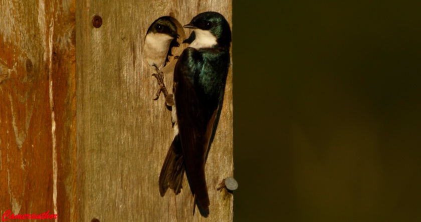 blog photo 208 swallow